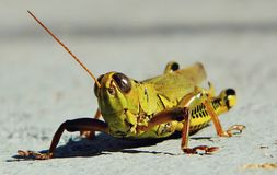 Grasshopper Close up Stock Images