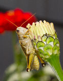 Grasshopper - close up Royalty Free Stock Images