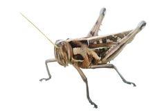 Grasshopper Royalty Free Stock Image