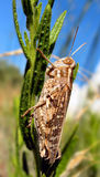 Grasshopper closeup. A big grasshopper eating a plant royalty free stock photography