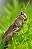 Grasshopper closeup Royalty Free Stock Image