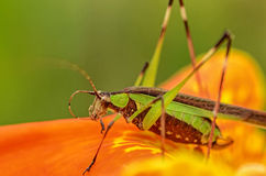 Grasshopper Closeup Royalty Free Stock Photos