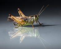Grasshopper closeup on dark background Stock Photography