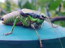 Grasshopper closeup Royalty Free Stock Photography