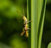 Grasshopper closeup Stock Photos