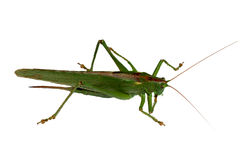 Grasshopper closeup isolated Royalty Free Stock Photo