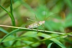 Grasshopper. Closeup in nature, macro Royalty Free Stock Photos