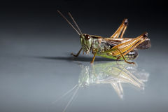 Free Grasshopper Closeup On Dark Background Stock Images - 15061104