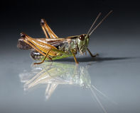 Free Grasshopper Closeup On Dark Background Stock Photography - 15081262