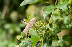 Grasshopper in a Closeup Royalty Free Stock Photography