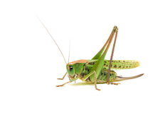 Grasshopper closeup. Side view. Grasshopper closeup on white background. Side view Stock Images