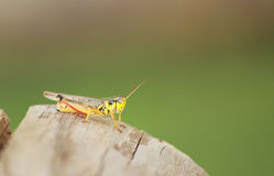 Grasshopper. Closeup of grasshopper sitting on a log royalty free stock photo