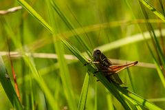 Grasshopper closeup in the summer time and back light Royalty Free Stock Image