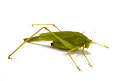 Grasshopper Closeup White Background Royalty Free Stock Image