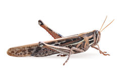 Grasshopper closeup on white background Stock Photos