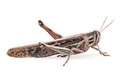 Grasshopper closeup on white background. Macro of a large brown grasshopper on a white background stock photos