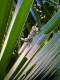 Grasshopper with coconut leaf Royalty Free Stock Image