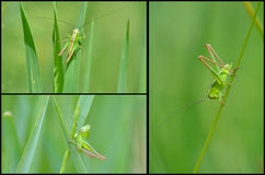 Grasshopper collage Royalty Free Stock Photography