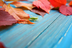 Grasshopper in colorful autumn leaves Royalty Free Stock Photography