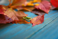 Grasshopper in colorful autumn leaves Stock Images