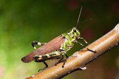 Grasshopper. Colorful grasshopper on a twig with nice green background Stock Photo