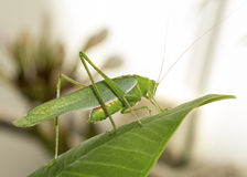 Grasshopper Stock Photography