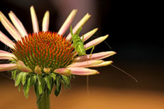 Grasshopper on coneflower Stock Image