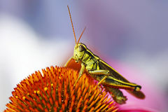 Grasshopper on coneflower. Cute red-legged grasshopper resting on top of a cone flower, beautiful shades of pink, purple, orange and green, great nature or Stock Photo