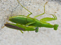 grasshopper couple Royalty Free Stock Photography