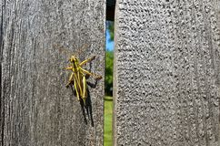 Grasshopper Crawling. A solitary grasshopper crawls on a weathered fence board Royalty Free Stock Image