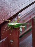 Grasshopper 2 Cricet Στοκ φωτογραφία με δικαίωμα ελεύθερης χρήσης