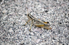 Grasshopper. A Grasshopper Crossing the Road Royalty Free Stock Photography