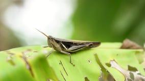 Grasshopper cub στο φύλλο μπανανών φιλμ μικρού μήκους