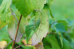 Grasshopper in currants. (our garden, Russia Stock Image