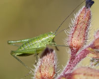 Grasshopper on a daisy Royalty Free Stock Photography