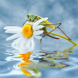 Grasshopper on daisy flower Stock Photo