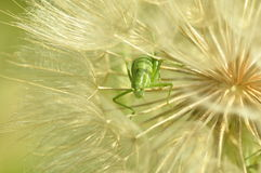 Grasshopper in a dandelion. Stock Images