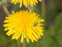 Grasshopper on a dandelion closeup Stock Photo