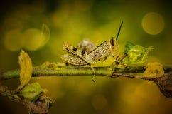 Grasshopper on dead center Stock Image