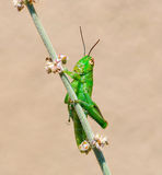 Grasshopper on desert sage Stock Photos