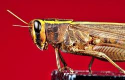 Grasshopper detail Stock Photos