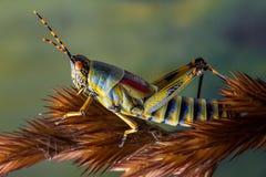Grasshopper detail Royalty Free Stock Photos