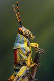 Grasshopper detail Stock Photography