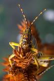 Grasshopper detail Royalty Free Stock Photo