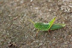 Grasshopper. Details the Grasshopper Stock Photos