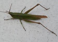 grasshopper doing pose stock photos