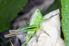 Grasshopper on a dry leaf Stock Photos