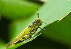 Grasshopper on Eaten Leaf Royalty Free Stock Image