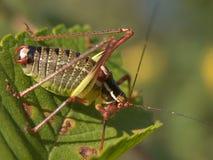 Grasshopper eating crops Stock Images