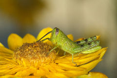 Grasshopper eating daisy Stock Images